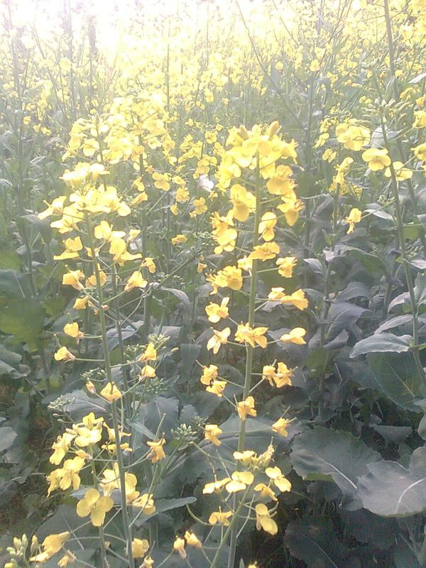 蝴蝶与油菜花